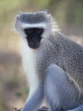 Vervet Monkey in the Sun  South Africa