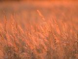 The Setting Sun Catches Prairie Grasses at Dusk