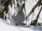 Snowshoe Hare Pauses under a Fur Tree in the Snow  Colorado