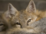 Swift Fox at the Omaha Zoo  Nebraska
