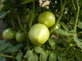 Tomato Plants in a Nebraska Garden