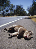 The Bloodied Roadkill of a Male Koala Alongside a Country Road  Australia