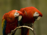 Scarlet Macaws from the Omaha Zoo  Nebraska