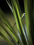 Sunset Catches the Bristling Spiked Edges of a River Sedge Leaf  Australia