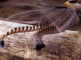 The Tail Feather Display of a Male Lyrebird  Australia