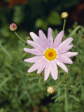 The Bright Happy Face of a Purple Daisy Flower and Buds  Jamieson  Australia