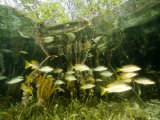 School of Snappers Shelters Among Mangrove Roots  Belize