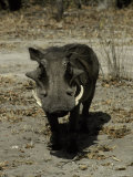 Ugly Hostile Warthog Face-On with Large Tusks Threatens to Charge