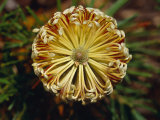 The Cylindrical Banksia Flower with Detail of its Stamen and Petals  Jamieson  Australia