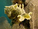 Spotted Sea Hare Grazing on Algae  Belize