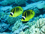 Two Racoon Butterflyfish  Takapoto Atoll  French Polynesia