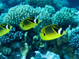 Several Racoon Butterflyfish  Takapoto Atoll  French Polynesia