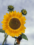 Vibrant Golden Yellow Sunflower Flower and New Green Buds  North Carlton  Australia