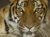Siberian Tiger from the Omaha Zoo, Nebraska Papier Photo par Joel Sartore