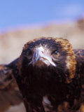 The Intense Glare of a Black Breasted Buzzard  Australia