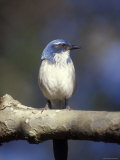 Scrub Jay Perched at el Capitan Canyon  California