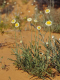The Poached Egg Daisy Emerges from Red Desert Sands  Australia