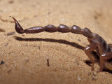Venomous Pointed Scorpion Tail Sting  Abdomen and Hind Legs  Australia