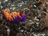 Spanish Shawl  Falbellinopsis Iodinea Nudibranch Seaslug  California