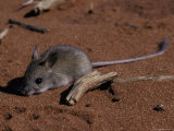 Timid Nocturnal Spinifex Hopping Mouse Rests on a Red Sand Dune  Australia