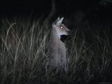 The Alert Posture of a Nocturnal Eastern Grey Kangaroo in a Grassland  Australia