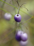 The Aubergine Fruit of the Tasman Flax Lilly  Dianella Tasmanica  Australia