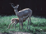 Slender Horn Gazelle with Two Caves in a Zoo