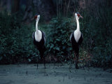 Two Wattled Cranes Standing in a Marshy Habitat