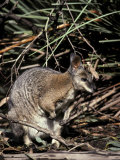 Tammar Wallaby with Ears Alert Browsing for Food Among the Grasses  Australia