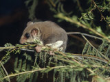 Tiny Feathertail Glider Climbing on a Branch at Night  Australia