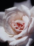 The Delicate Pale Pink Petals of a Dainty Cecil Brunner Rose  North Carlton  Australia