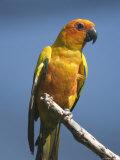 Sun Conure Parrot at the Sedgwick County Zoo  Kansas