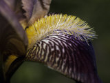 The Intricate Markings of a Purple Orchid Petal and Yellow Stamen  Australia