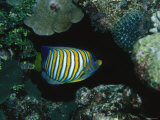 Tropical Regal Angelfish  Pygoplites Diacanthus