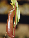 The Tropical Pitcher Plant Nepenthes Alarta Carnivorous Insect Feeder  Australia