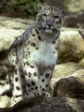 The Appraising Stare of a Majestic Snow Leopard  Alpine Predator  Melbourne Zoo  Australia