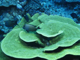 Surgeonfish Swimming over Turbinaria Reniformis  Cabage Coral