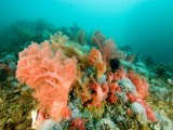 Soft Corals of Many Hues Cover a Reef  Malapascua Island  Philippines