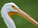 White Pelican at the Sunset Zoo  Kansas