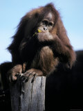 Young Orangutan Perched on a Stump Contentedly Eating a Banana  Melbourne Zoo  Australia