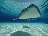 Southern Stingray