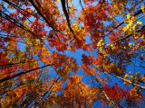Upward View of a Grove of Sugar Maple Trees