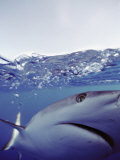 Underwater View of Gray Reef Shark