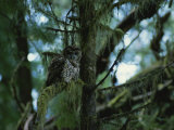 Spotted Owl Perched on the Moss-Draped Limb of a Tree
