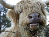 Scottish Highland Bull