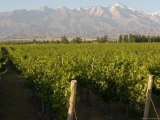 Vineyards in the Mendoza Valley with the Andes in the Background
