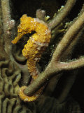 Seahorse with Tail Wrapped Around Branches