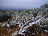 Tangle of Snow-Covered Branches in Front of Small Trees or Shrubs  Utah