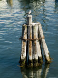 Seagull Perched on a Wooden Piling in Old Harbor  Block Island  Rhode Island