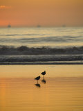 Two Sea Birds Standing in the Surf at Sunset  California
